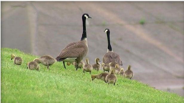 Mother goose 'asks' police to help untangle baby bird